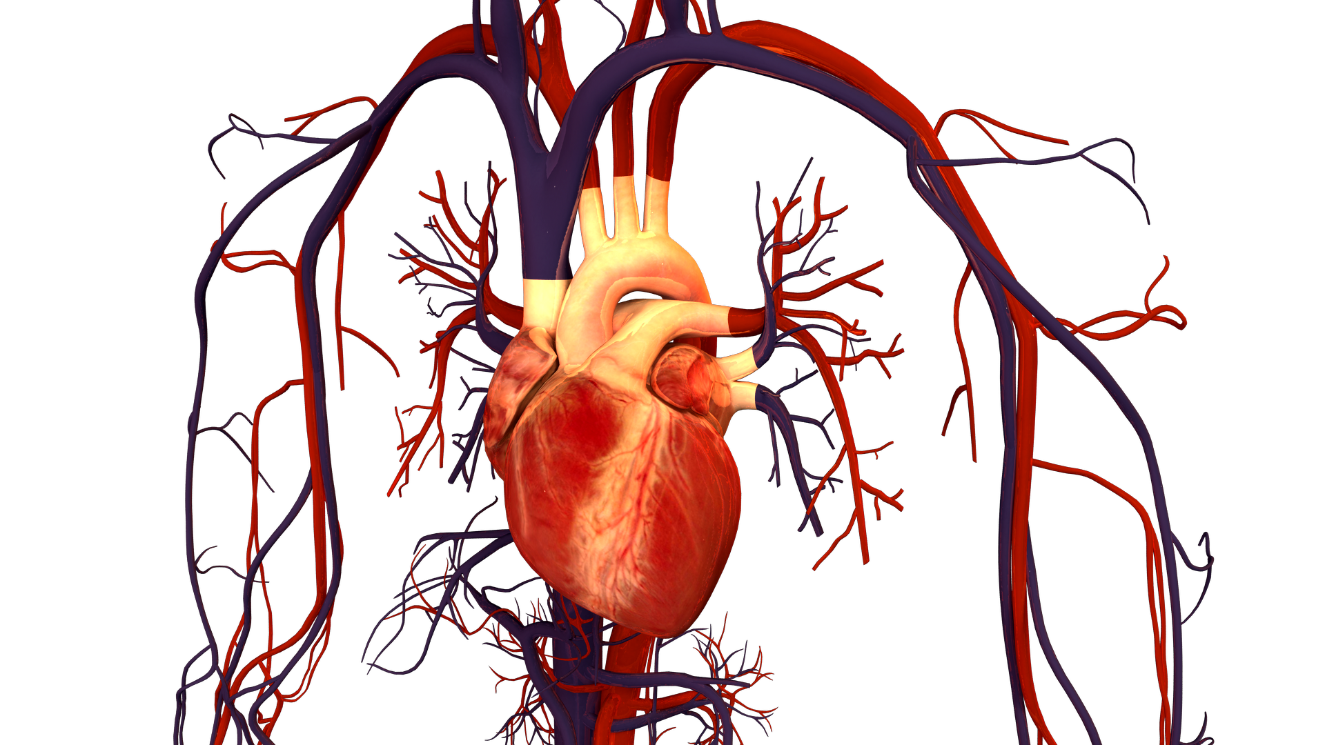 Human_Heart_and_Circulatory_System.png
