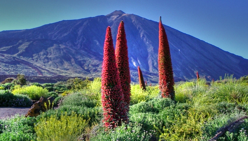 Echium_Wildpretii_at_The_Teide.jpg